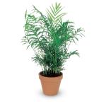 palmeirachamaedoria