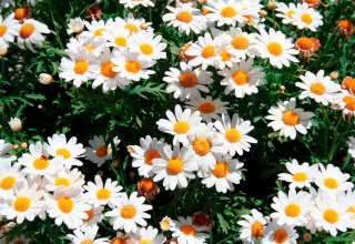 Flores para jardim