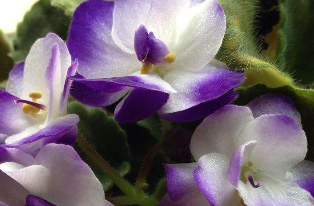 Flor de violeta africana