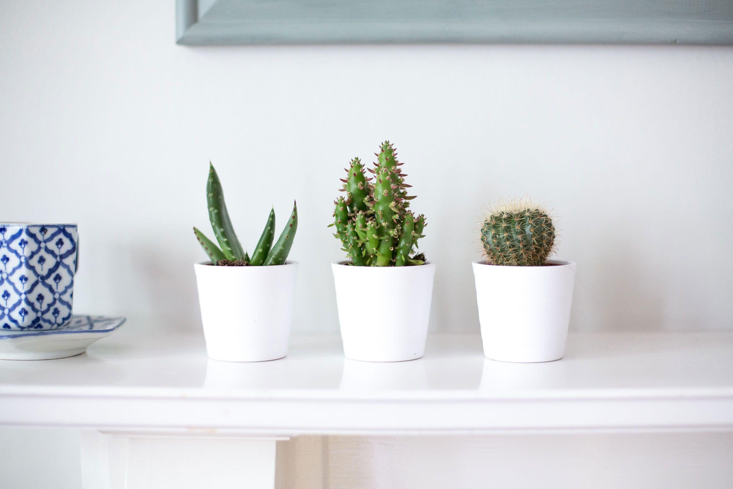 Se você for optar por cactos pequenos, insira mais vasos na decoração.