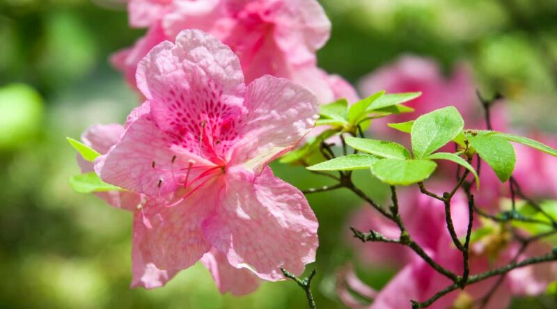 Como cuidar de azaleia: dicas para plantar no ambiente interno e externo