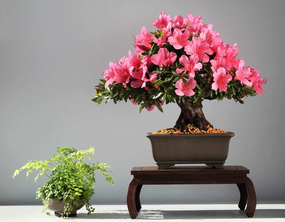 Bonsai de azaleia