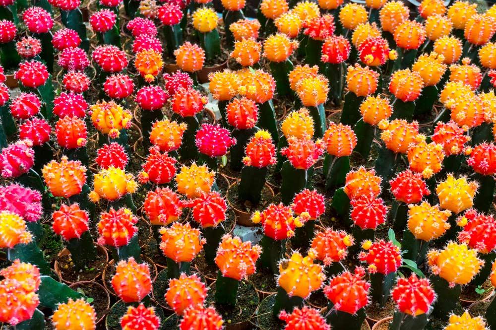 Flores com catos