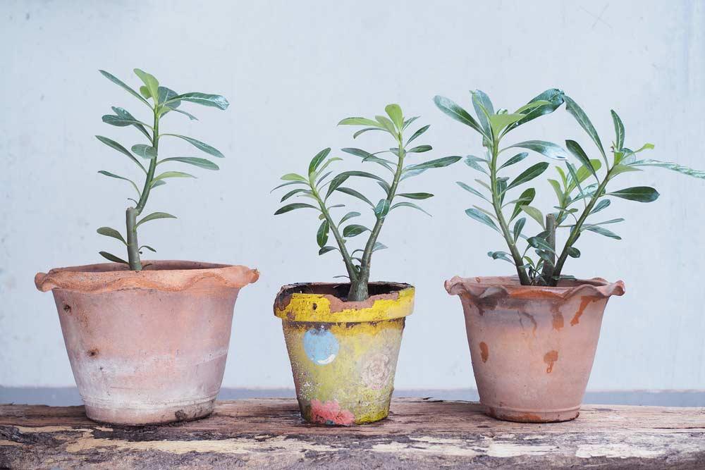 Como Cuidar Da Rosa Do Deserto 9 Dicas Essenciais Para Seguir