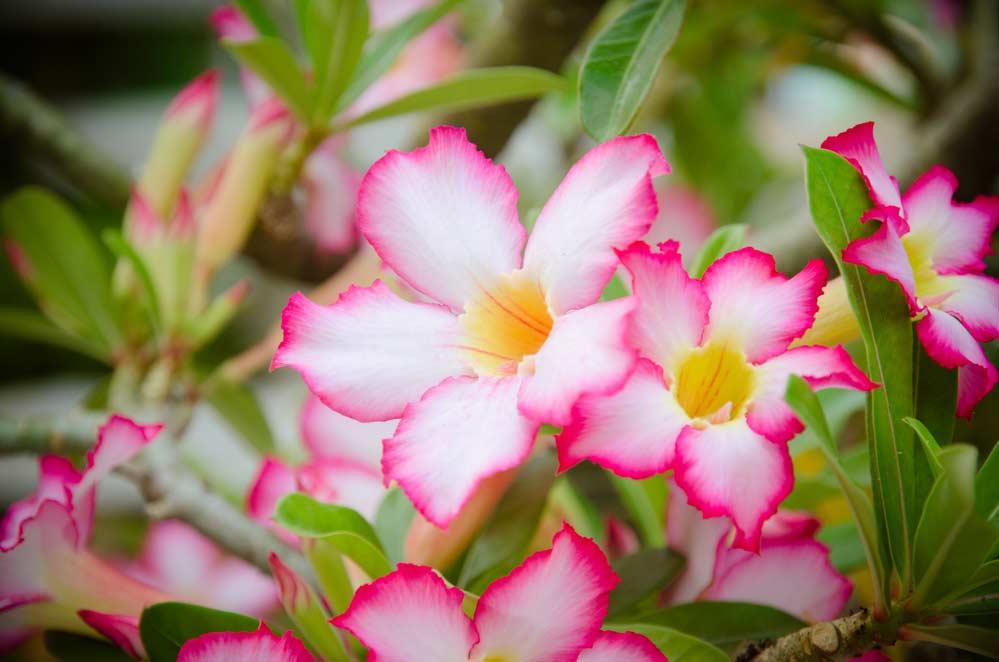 Como cuidar da rosa do deserto: 9 dicas essenciais para seguir