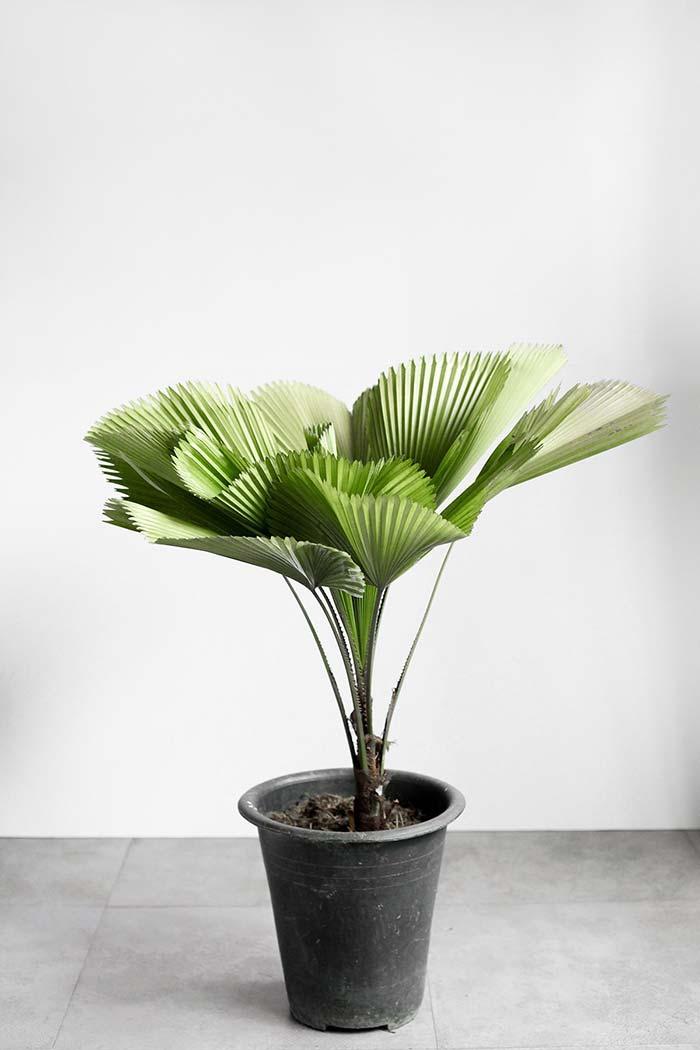A palmeira leque tem crescimento lento