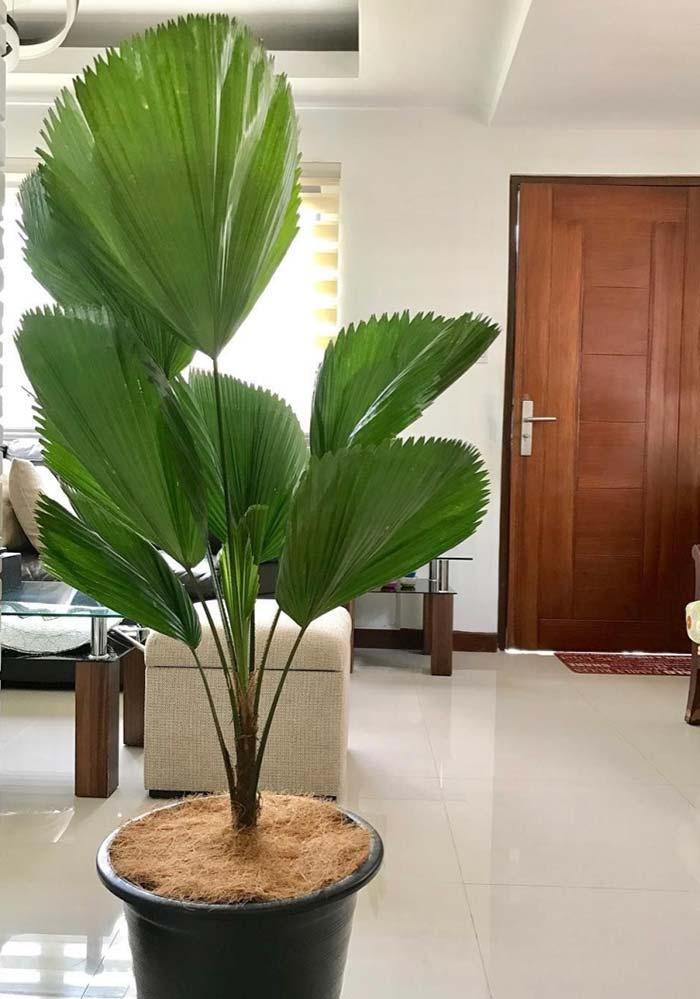Palmeira Leque na recepção de convidados