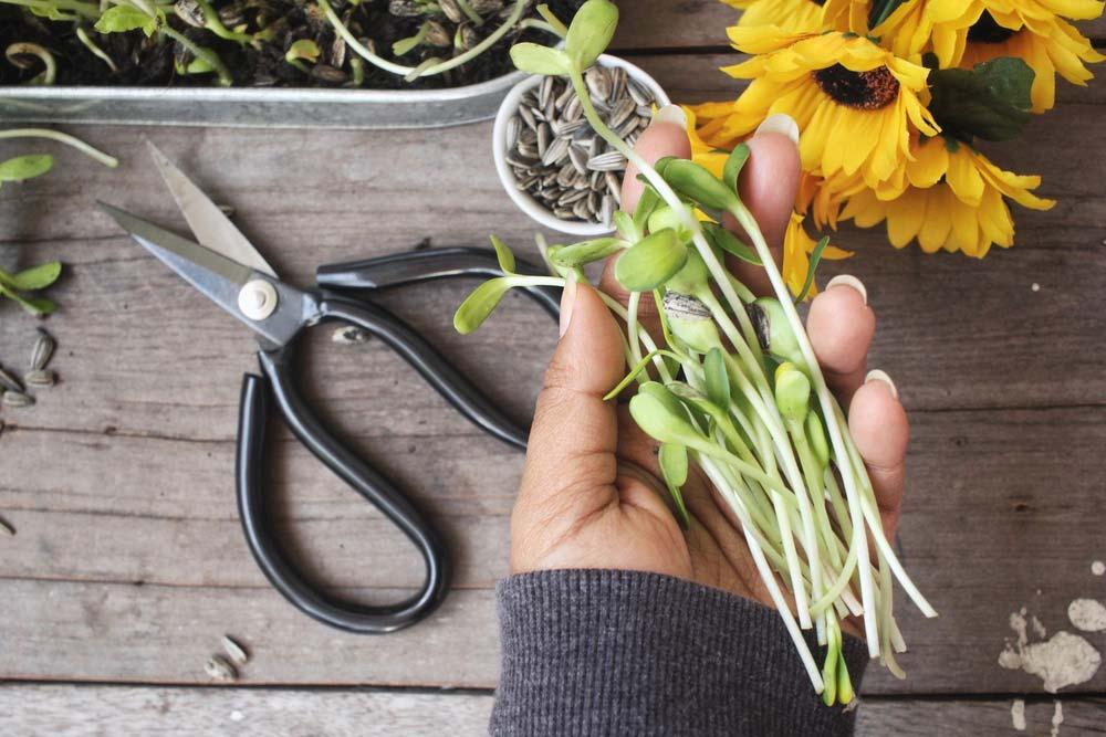 Plantio de girassol