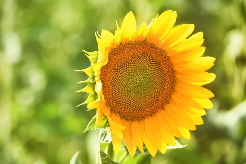 Como cuidar de girassol: dicas essenciais para o cultivo da flor