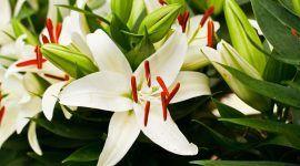 Como cuidar de lírios: descubra dicas para cultivar lírios no jardim