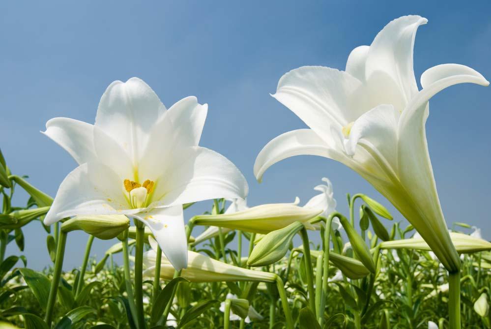 Flores de lírios