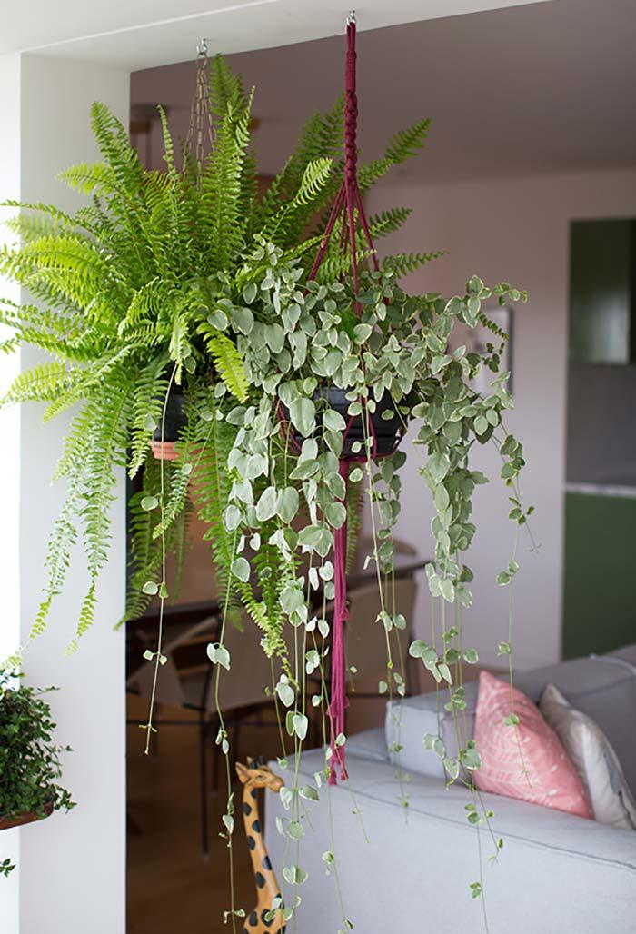 Espécies pendentes de plantas para sala