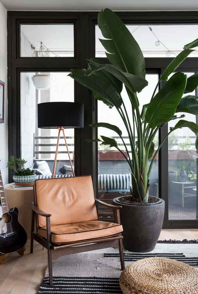 Planta para sala: bananeira de jardim