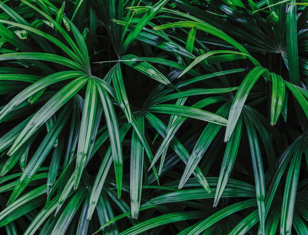 Palmeira ráfis