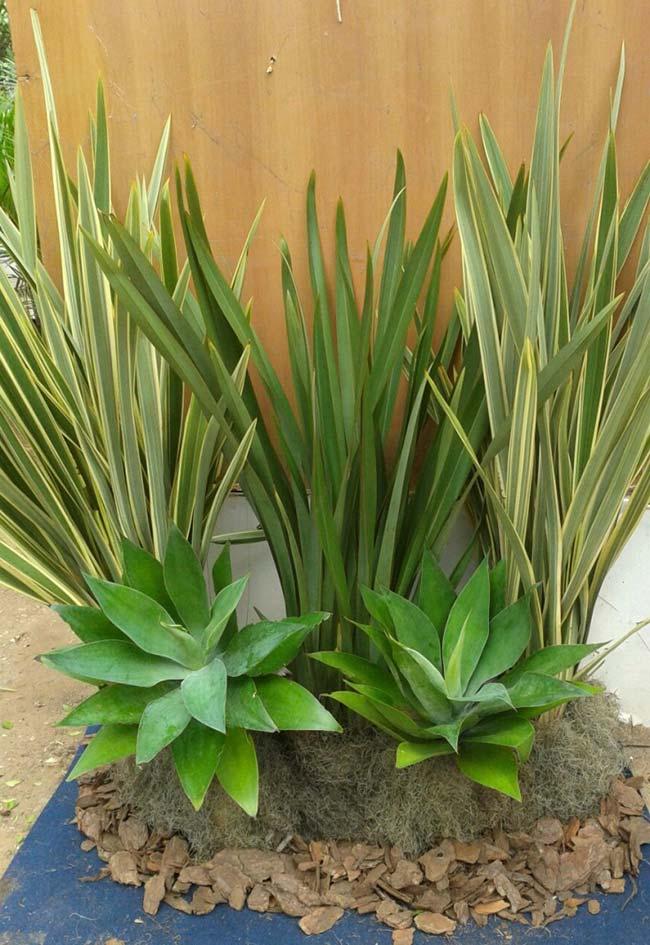 O dasilírio possui fácil manutenção e também pode ser plantada em vasos e canteiros