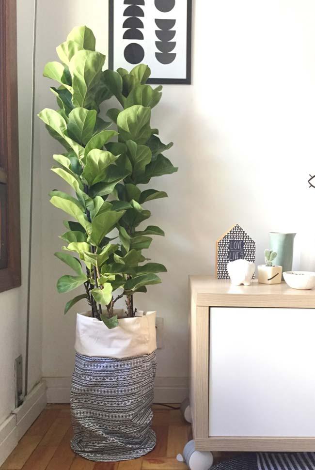Ficus como planta ornamental