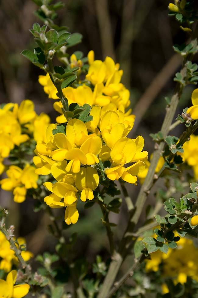 A Giesta apresenta flores nas pontas dos seus ramos
