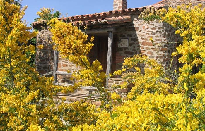 Sob o sol pleno, a Giesta inunda o jardim com suas delicadas flores amarelas
