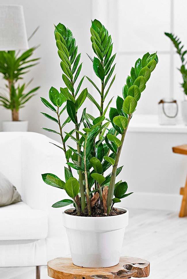 Outra modo de cultivar a zamioculca é plantá-la em vasos