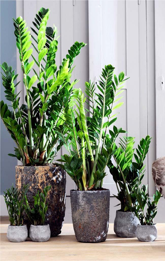Combinação de vasos de zamioculca em tamanhos variados