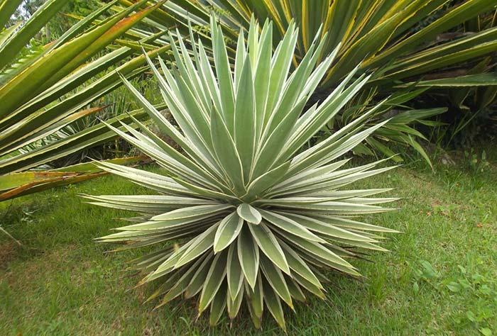 Formato arredondado da agave torna a planta uma excelente opção ornamental