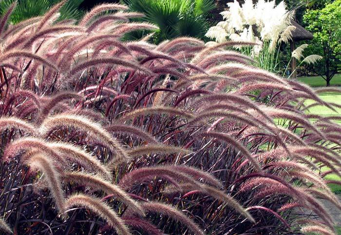 As hastes da planta se assemelham às plumas