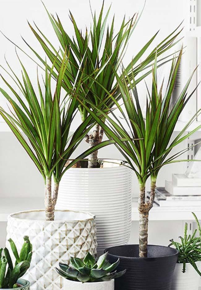 Dracena se adapta muito bem ao cultivo em vasos