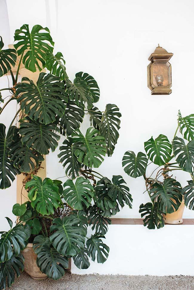 Em vasos, a planta também pode se desenvolver muito bem
