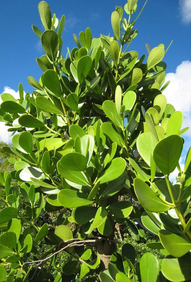 O tom verde brilhante das folhas da clúsia se destacam ao ar livre