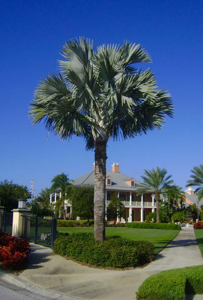 Palmeira azul com 25 metros de altura