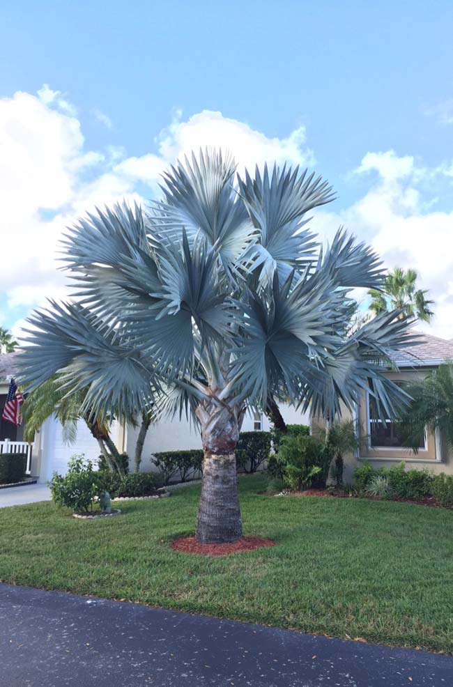 Boas vindas para quem chega a residência com a palmeira azul