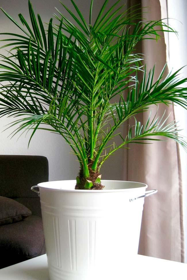 Palmeira fênix em casa