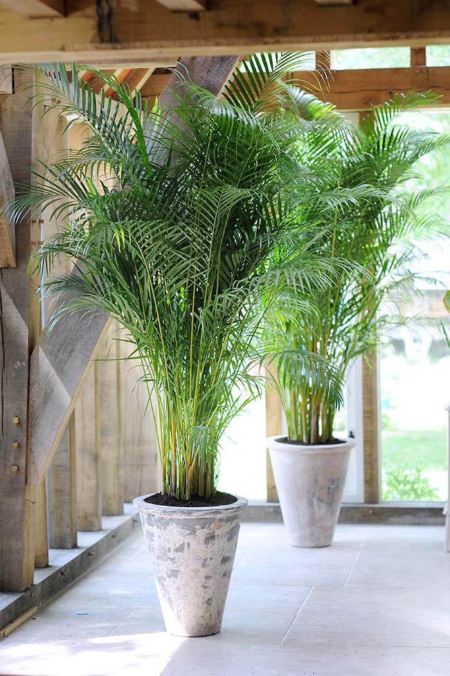 Palmeira areca volumosa decorando o corredor externo da casa