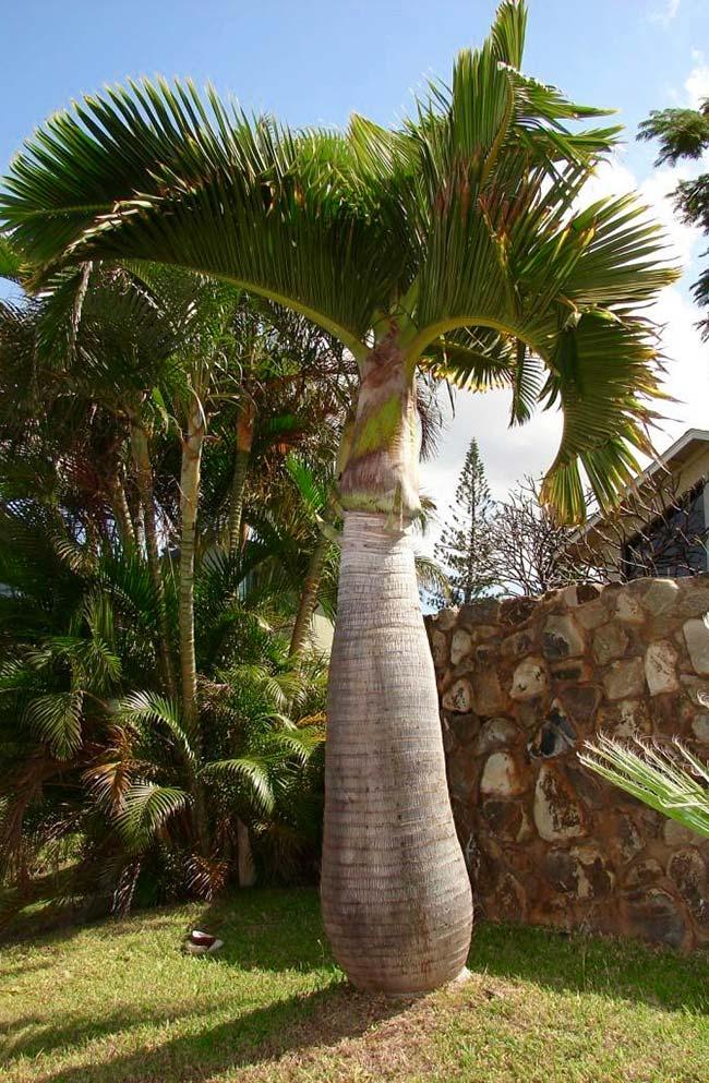 Palmeira garrafa ornamentando o jardim