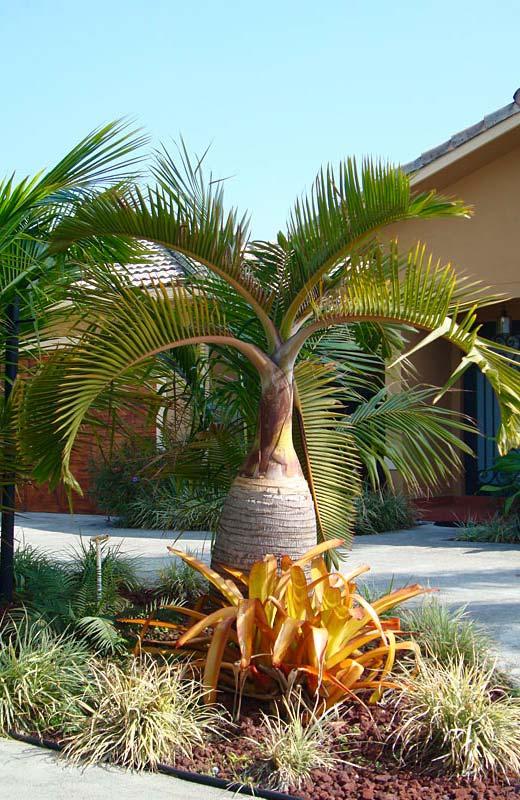 As folhas da palmeira garrafa também são bem marcantes