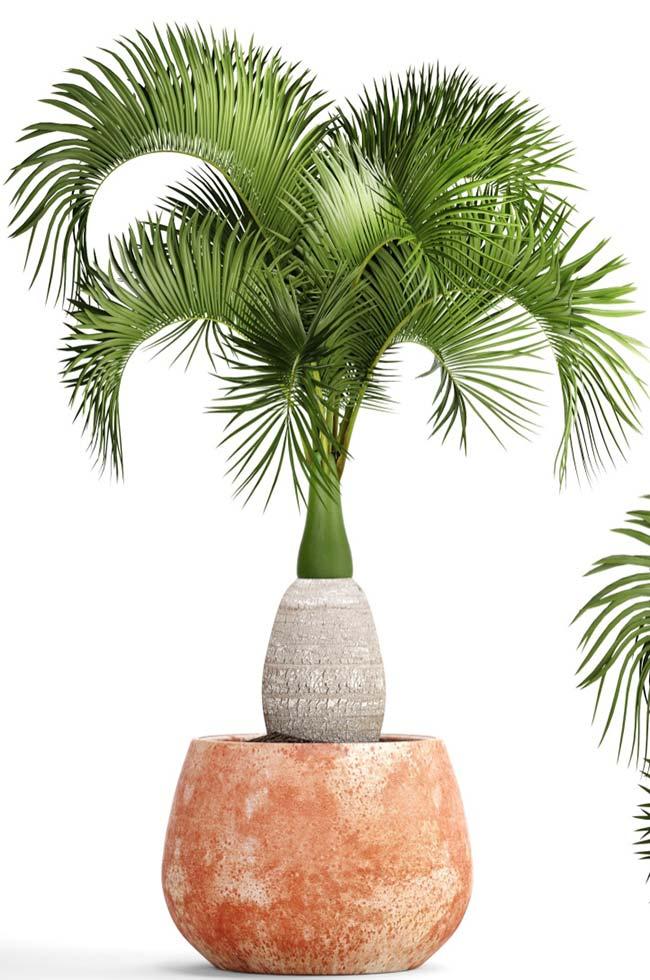 Palmeiras garrafas podem ser plantadas em vaso