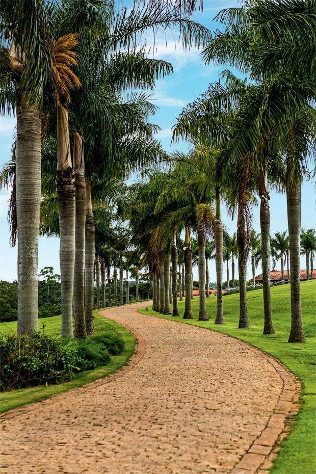 Caminho de palmeiras imperiais
