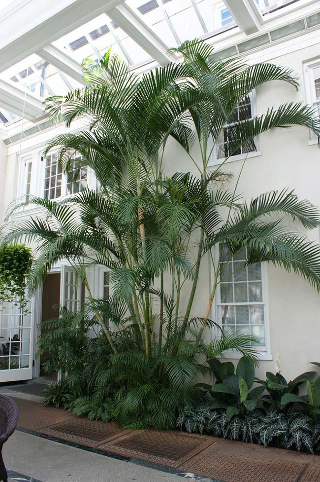 Palmeira areca em toda a sua plenitude