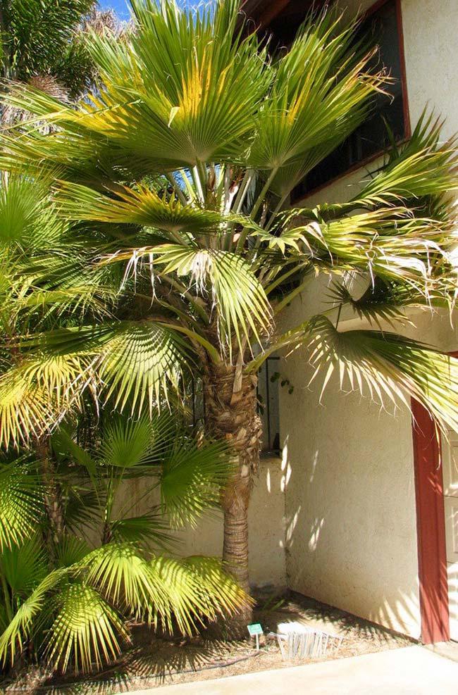 Folhas volumosas da palmeira leque