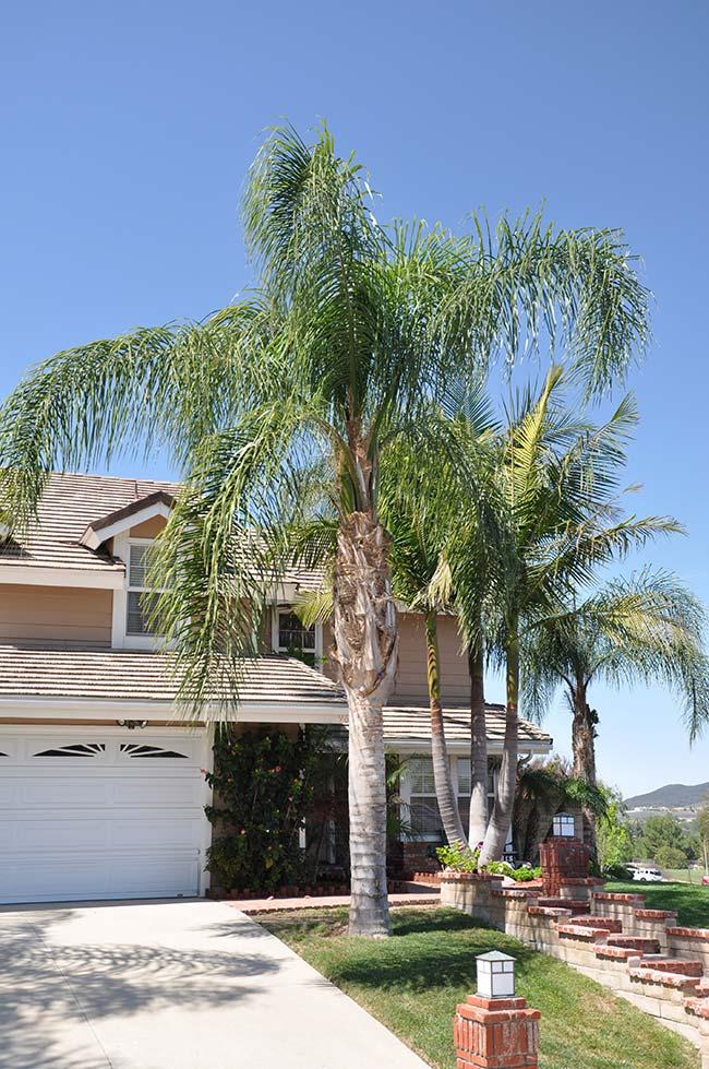 Mesmo altas, as palmeiras reais não tiram a visibilidade da fachada da casa