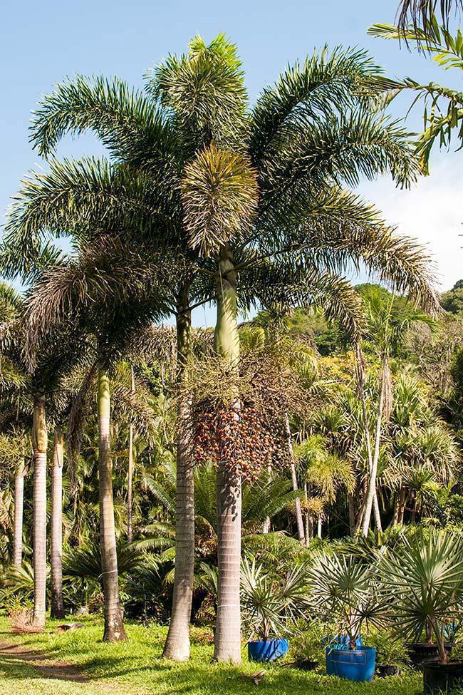 Palmeira Rabo de Raposa tem frutos vermelhos