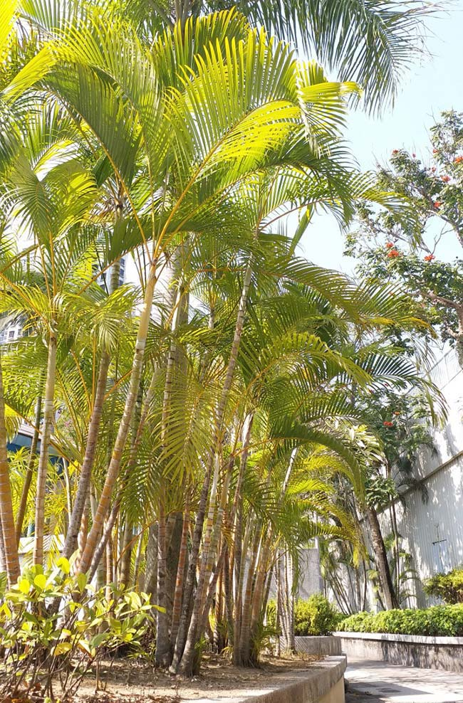 Conjunto de palmeiras formando um maciço verde e amarelo