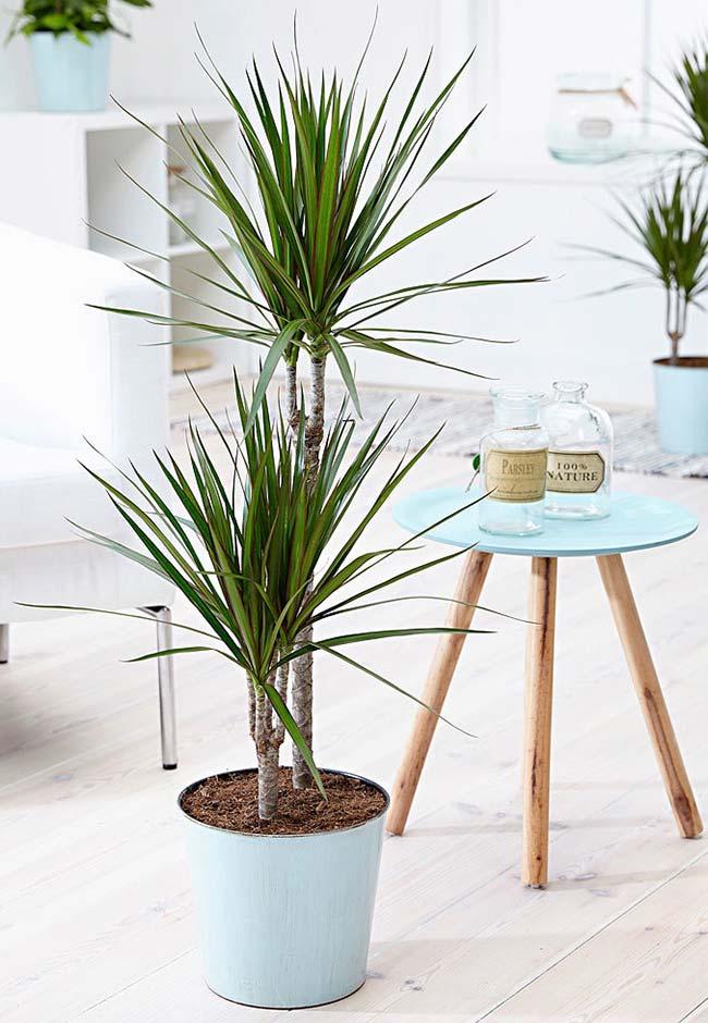 Palmeira ráfia é fácil de ser cultivada dentro de casa