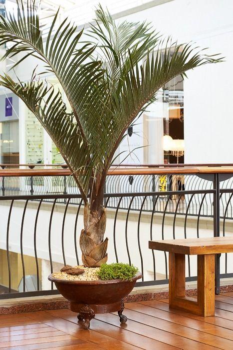 Tipo comum de palmeira em shoppings