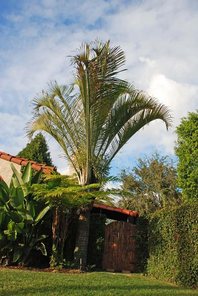 Palmeira na entrada da casa