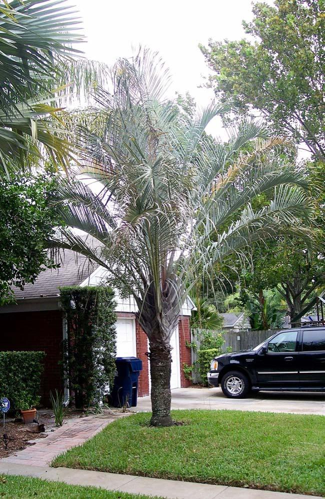 Palmeira triângulo também possui folhas levemente acinzentadas