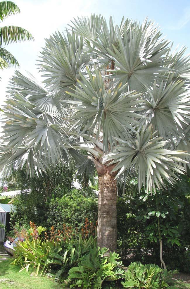A exuberância de uma palmeira azul madura