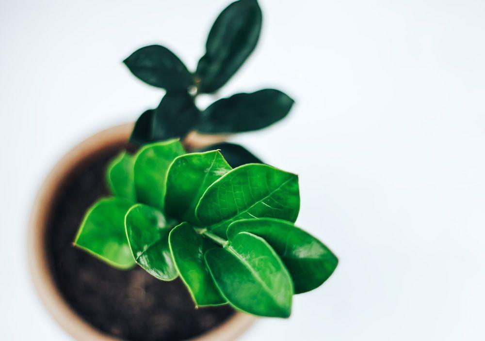 Como plantar zamioculca
