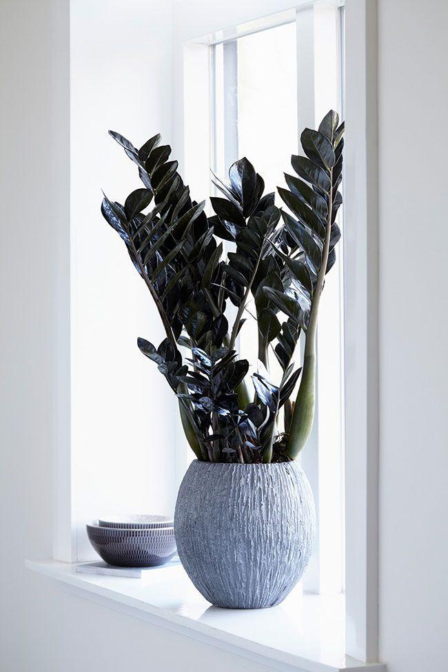Galhos finos e alongados da zamioculca são ótimos para compor uma decoração mais elegante e sofisticada