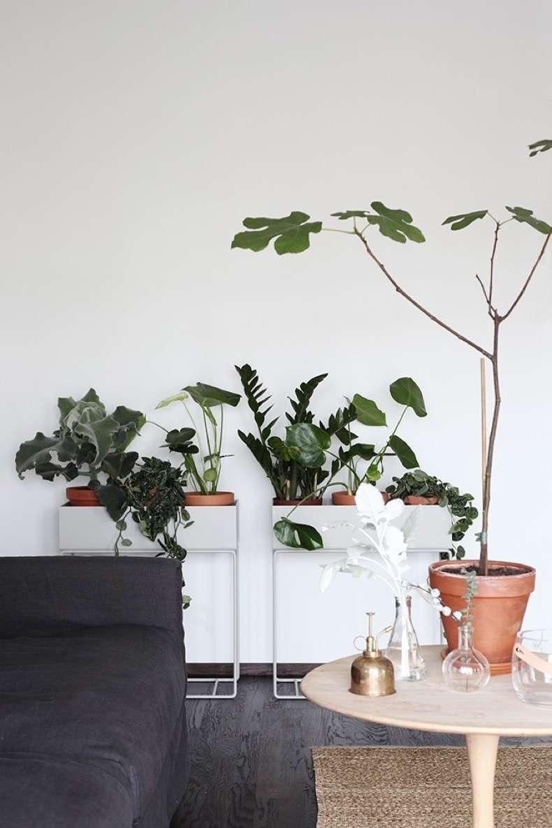 Zamioculca para decorar ambientes